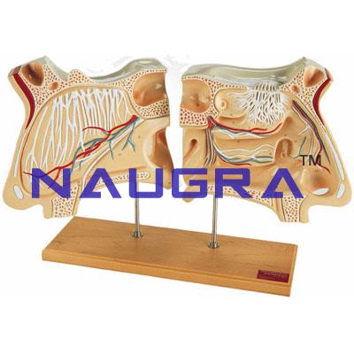 Human Nasal Cavity Model Human Anatomy Lab Sku Ielab004006