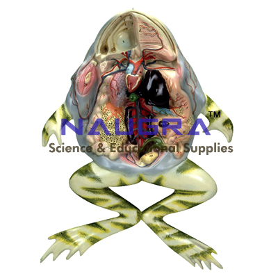 Frog Dissection Model Frog Dissection Anatomy Model For Zoology