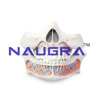 Deciduous Teeth Model Human Anatomy Lab Sku Ielab004038